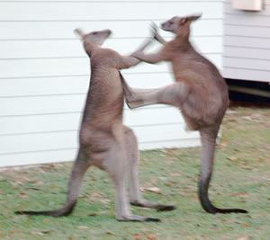 Kangaroo Caught By OFT Inquiry